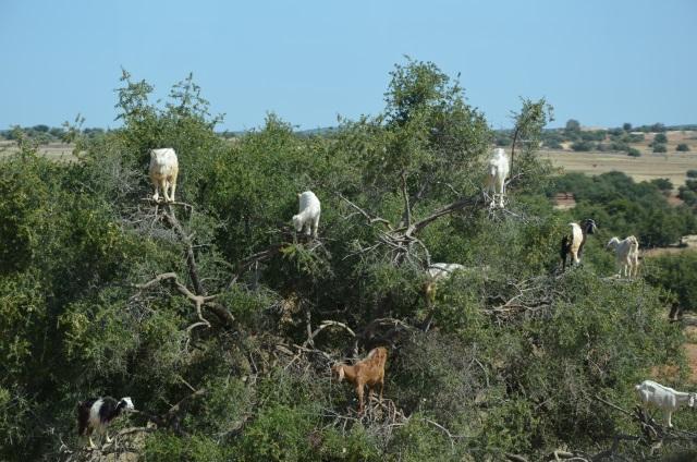Essaouira kozy na drzewie